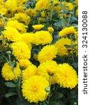 Yellow Chrysantems