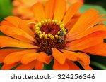 Bee On The Orange Flowers Clos...