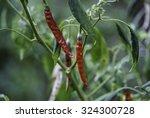chilli seed on chilli tree | Shutterstock . vector #324300728
