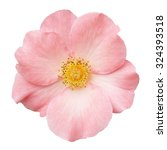 Stock photo wild rose pink flower isolated on white 324393518
