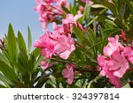 Oleander Bush With Pink Flower...