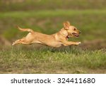 Stock photo portuguese podengo dog 324411680