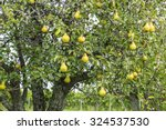 Ripen Bosc Pears On The Tree