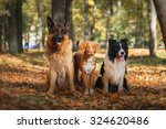 Stock photo dog breed border collie and german shepherd and nova scotia duck tolling retriever walking in 324620486