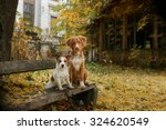 Stock photo dog breed nova scotia duck tolling retriever and jack russell terrier walking in autumn park 324620549