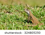 Small photo of Leiolepis, commonly known as butterfly lizards or butterfly agamas, are group of agamid lizards of which very little is known.