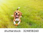 Funny Cute Beagle Dog In Park...