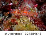a night shrimp  or processidae  ... | Shutterstock . vector #324884648