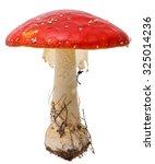 Amanita Poisonous Mushroom ...