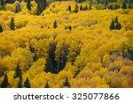 Yellow Aspen Tree From Colorado ...