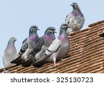 A Shot Of Some Feral Pigeons...