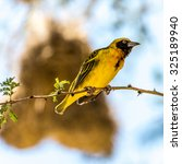 Small photo of Wild Birds from Africa - Southern Yellow Masked Weaver during the breeding season in Kenya.