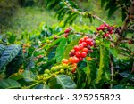 coffee berries in farm and... | Shutterstock . vector #325255823