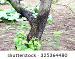 Blackened Trunk Of Apple Trees...