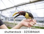 Mini Tucan  perched on someones hand - stock photo