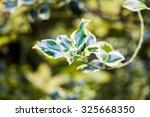 Ilex Aquifolium  Golden Queen...