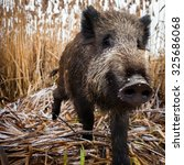 Wild Boar On Agricultural Land...