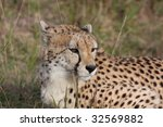 a cheetah waits in the long... | Shutterstock . vector #32569882