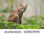 eurasian lynx     Shutterstock . vector #325825940