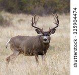 Large  Heavy Antlered Mule Dee...
