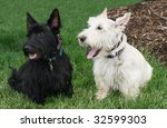 adorable black and white scottish terrier dogs - stock photo