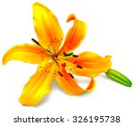 Stock photo yellow lily flower with buds isolated on a white background flowers resembles a starfish 326195738