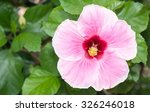 Perfect Pink Hibiscus Blossom...
