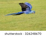 Hyacinth Macaw With Wings Held...