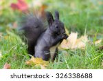Black Squirrel In The Autumn...