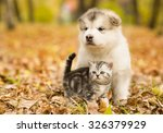 Stock photo scottish cat and alaskan malamute puppy dog together in autumn park 326379929