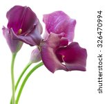 Violet Calla Lilly Flowers...