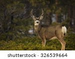 Young Mule Deer Buck In Bryce...