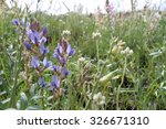 Small photo of The purple and white wildflower, Field Milkvetchwild Flower, astragalus agrestis, grows in a Western United States of America prairie.