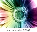 A rainbow daisy - stock photo