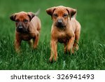 Stock photo adorable little rhodesian ridgeback puppies playing together in garden funny expressions in their 326941493