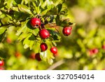 Ripe Red Fruit Of Hawthorn ...