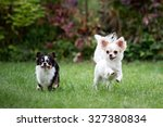 Chihuahua Dog Running On The...