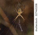 Small photo of Argiope amidst cobweb