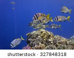 Small photo of Doublebar bream (acanthopagrus bifasciatus), Red Sea, Egypt