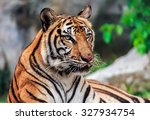 Tiger Or Tiger Laipadklan ...