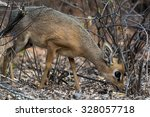 Постер, плакат: Damara Dik Dik eating