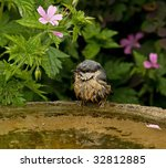 Wet Nuthatch Fledgling On...