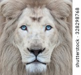 White Lion With Blue Eyes...