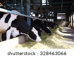 Holstein Cows Feeding In A...