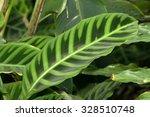 zebra plant's beautiful leaf ... | Shutterstock . vector #328510748