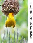 Small photo of Weaving bird (golden palm weaver - Ploceus bojeri) peaches on a nest, Africa