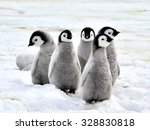 Emperor Penguin Chicks On The...