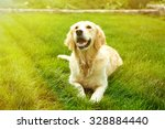 Stock photo adorable golden retriever on green grass outdoors 328884440