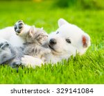 Stock photo white swiss shepherd s puppy playing with tiny kitten on green grass 329141084