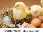 Newborn Yellow Chickens In Hay...
